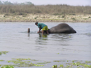 chitwan 2009 62 elephant bathing y220
