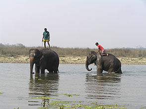 chitwan 2009 67 elephant bathing y220